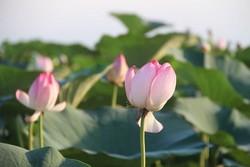 چهارمین دوره جشنواره گلدهی لاله های تالابی در انزلی برگزار می شود