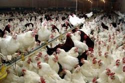توزیع ۳ میلیون دُز واکسن آنفلوانزای فوق حاد پرندگان در البرز