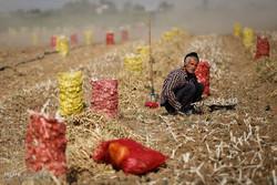 قطف ثمار الثوم في مزارع مدينة همدان الايرانية / صور