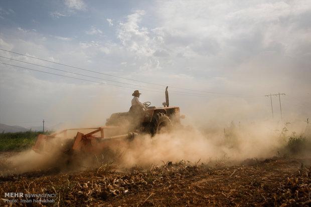قطف ثمار الثوم في مزارع مدينة همدان الايرانية
