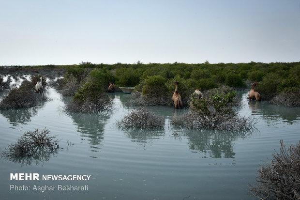 جنگل های دریایی یا حرا یکی از عجیب ترین عناصر طبیعی خلقت در جهان هستند. درختانی که در ناحیه جذر و مدی زیست می کنند و از آب شور تغذیه می کنند.