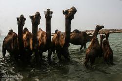 شستشوی شترها جزیره قشم