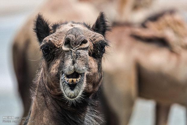 İran'ın güneyinde deve yetiştiriciliği