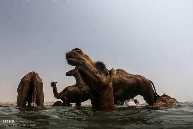 Camels of Qeshm Island bathing in Strait of Hormuz