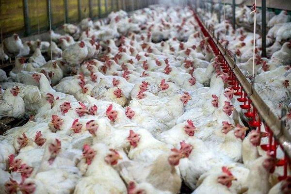 جریمه ۳۶۵ میلیون ریالی برای کشتارگاه متخلف مرغ در کرمانشاه