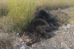 مرگ دومین خرس قهوهای شاهوار شاهرود تائید شد