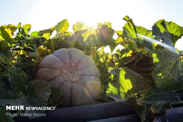 Cantaloupe harvest in Shahreza