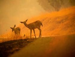 حیوانات گرفتار در آتش سوزی های آمریکا