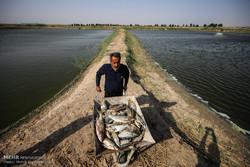 پساب کشاورزی تهدیدی برای صنعت آبزیپروری خرمشهر