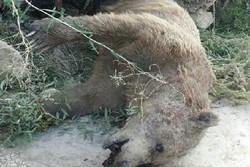 کشف جسد خرس