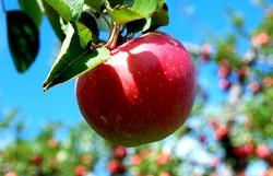 ضرورت برندسازی سیب هشترود/ گردشگری صنعتی ارزآور و پرسود است