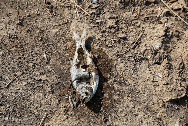 مرگ ماهیان مجتمع پرورش ماهی شهید احمدیان خرمشهر