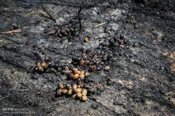 خاکستر شدن 600 اصل نخل در خنافره شادگان