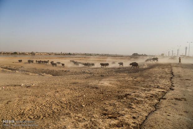 افریقہ میں خونخوار شیروں کے حملے میں 400 بھینسیں ڈوب کر ہلاک ہوگئیں