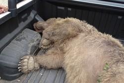 خرس زخمی پیرانشهر امروز عمل جراحی می شود