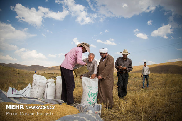 Farmers paying zakat while harvesting