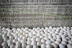 ورود دولت به بازار تخم مرغ/ جمع آوری تولید مازاد از فردا