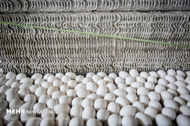 ورود دولت به بازار تخم مرغ/ جمع آوری تولید مازاد از امروز,