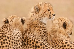 14 cheetahs spotted in Khar Turan National Park of Shahroud