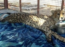 Asiatic cheetah died of spinal cord injury by car crash