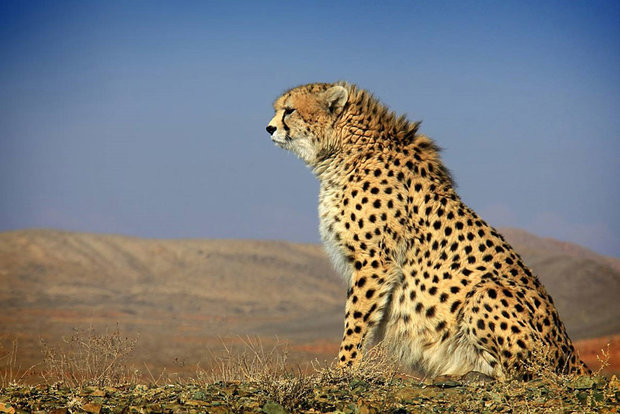 Cheetah cub wounded in car crash suffers irreversible spinal cord injury
