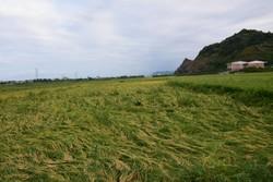 خسارت بارش باران به مزارع برنج در آستارا