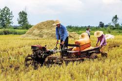 Rice harvest season in northern Iran paddy fields