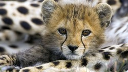 The Asiatic cheetah cub which had been injured on August 7 in a car crash on Abbasabad-Mayami road