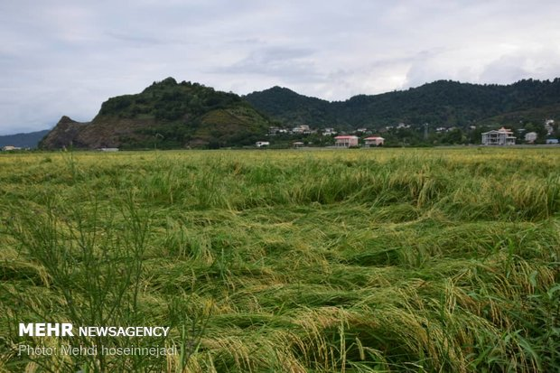 Unseasonal rain damages rice fields in Astara
