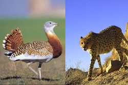 میش مرغ و یوزپلنگ