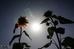 حقول عباد الشمس في مدينة سنقر الإيرانية/صور