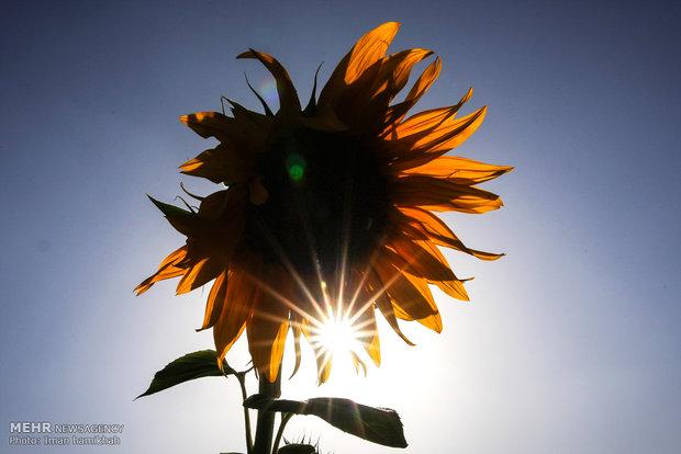 Sunflower farm in Kermanshah province