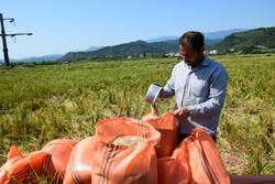 معرفی ارقام برنج متناسب با کشت هوازی در کشور
