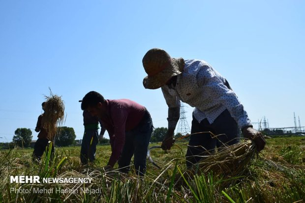Rice harvest in Astara's paddy fields