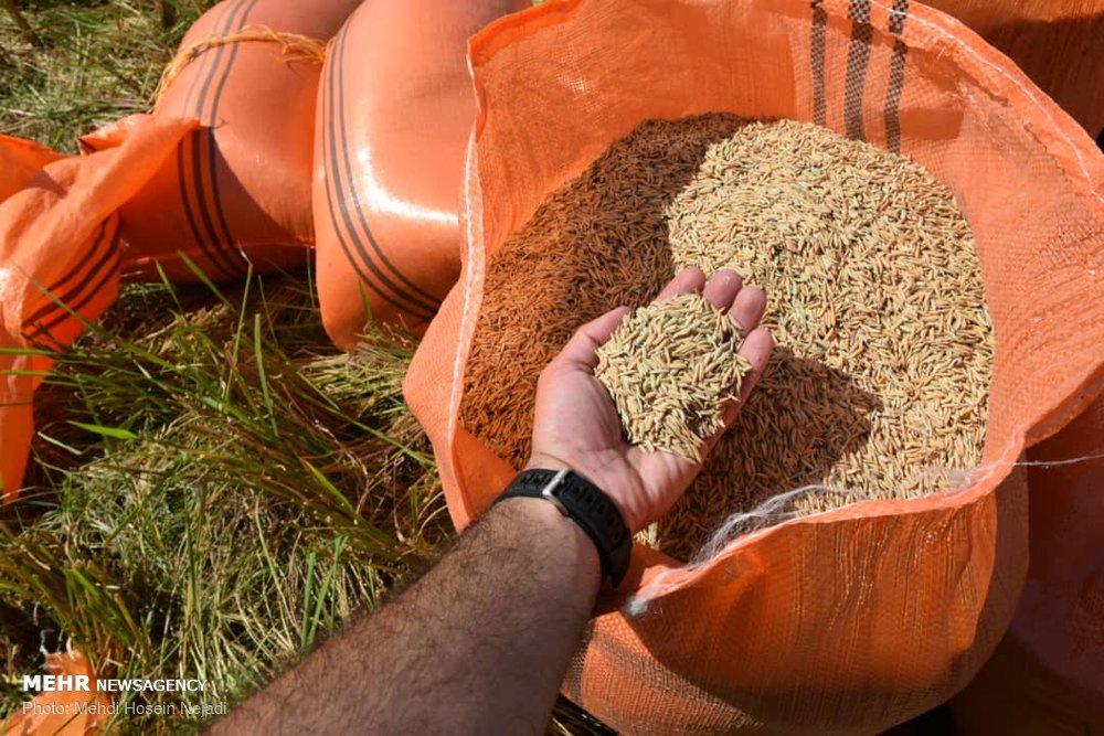 برداشت برنج از مزارع شهرستان مرزی بندر آستارا