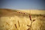 معامله ۱۸هزار تن گندم خوراکی در بورس کالای ایران