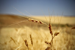 Iran envisages harvesting 13.5m tons of wheat in current crop year