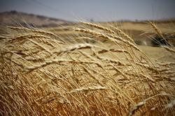 برداشت گندم از سطح ۲۴ هزار هکتار از مزارع سیستان و بلوچستان
