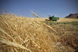 ۹۰ درصد گندم کشور مکانیزه کشت می شود