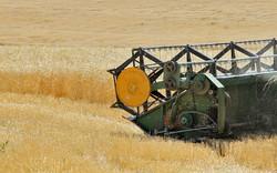 هدفگذاری تولید ۱۴ میلیون تن گندم در سال زراعی جدید