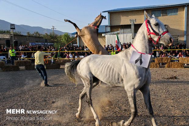 جشنواره ملی زیبایی اسب در چهارمحال و بختیاری برگزار می شود