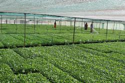 راه اندازی سامانه رصد تولید ٣محصول کشاورزی/ افزایش ٢٧٠٠ هکتاری سطح زیرکشت گلخانه ها