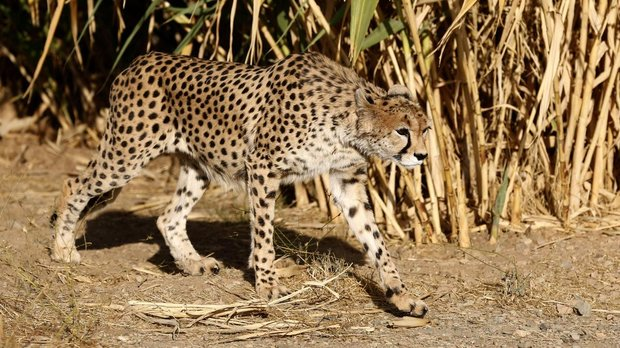 Iranian researchers to study artificial insemination on Asiatic cheetahs