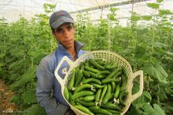 ایجاد گلخانه در روستاها مورد حمایت وزارت جهاد کشاورزی است