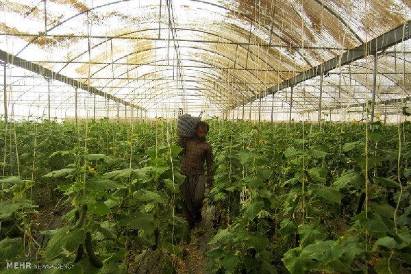 استان بوشهر رتبه هفتم کشور در توسعه سطح گلخانهها را دارد