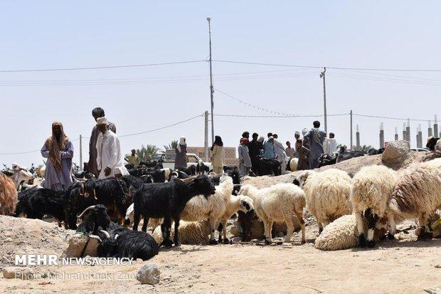 بازار داغ فروش دام  در مهرستان