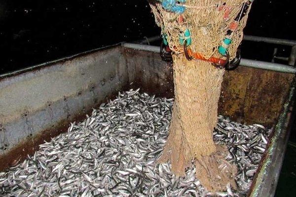 کاهش ۲۶ درصدی صید ماهی کیلکا در گیلان/۱۲۱۰ تن صید شد