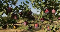 احداث طرح سایبان در باغات میوه ضروری است