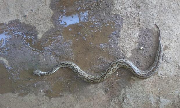کیرالہ میں گھروں میں خطرناک سانپوں نے ڈیرے ڈال دیئے ہیں