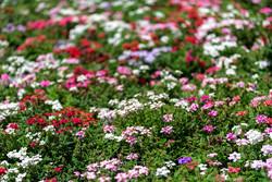 نمایشگاه گل و گیاه رفسنجان در حال برگزاری است